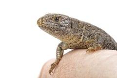 Lizard & x28;Lacerta agilis& x29; on a white background Royalty Free Stock Photo