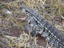 Lizard Royalty Free Stock Photography