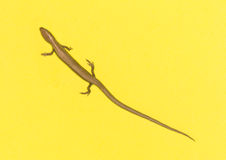 Lizard on a yellow background Royalty Free Stock Images