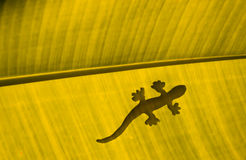 Lizard on yellow banana leaf Royalty Free Stock Photo