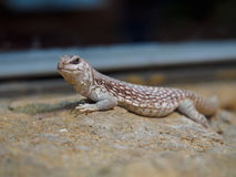 Lizard. A lizard in a zoo Stock Photography