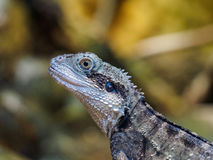 Lizard. A lizard in a zoo Stock Image