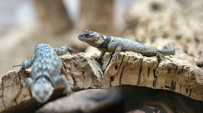 Lizard in the  zoo Royalty Free Stock Image