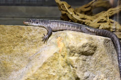 Lizard in the  zoo Stock Photo