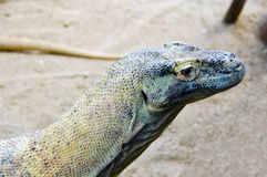 Lizard in a zoo garden Royalty Free Stock Photos