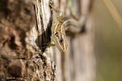 Lizard - Zootoca-vivipara - looking Royalty Free Stock Image