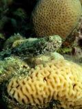 Lizardfish Royalty Free Stock Image