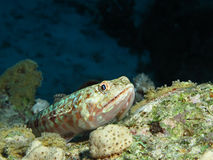 Lizardfish Stock Images