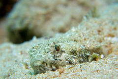 Lizardfish Royalty Free Stock Photos