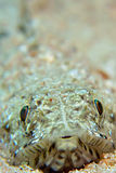 Lizardfish Royalty Free Stock Image
