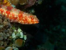 Lizardfish Στοκ φωτογραφία με δικαίωμα ελεύθερης χρήσης