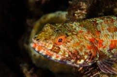 Lizardfish del filón de Indonesia del lembeh del buceo con escafandra subacuático Foto de archivo libre de regalías