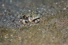 Lizardfish delgado Fotos de archivo
