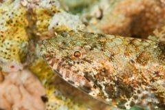 Lizardfish delgado Imagenes de archivo