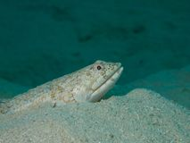 Lizardfish Stock Photos