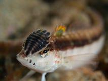 Lizardfish met isopoda op het Stock Foto