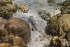 Lizardfish nebuloso en la isla de Lipe Imagen de archivo