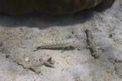 Lizardfish nebuloso en la isla de Lipe Foto de archivo libre de regalías