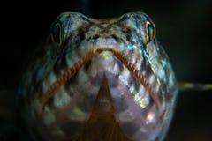 Lizardfish op Ertsader in Indonesië royalty-vrije stock foto