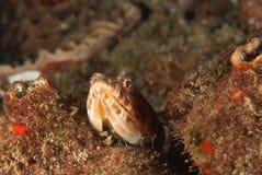 lizardfish podglądanie fotografia royalty free