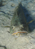 LIzardfish - Roatan, Honduras Arkivbilder