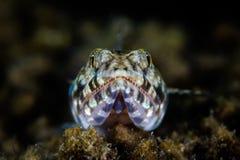 Lizardfish Royalty Free Stock Photography