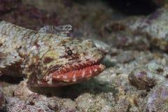 lizardfishorangemouth Fotografering för Bildbyråer