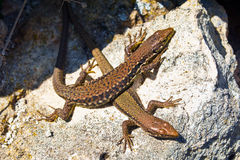 Lizards Royalty Free Stock Images
