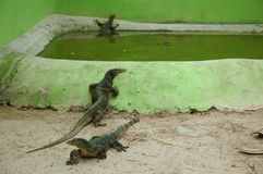 Lizards. Laying listlessly lamenting life royalty free stock photography