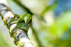 Lizards Royalty Free Stock Photos