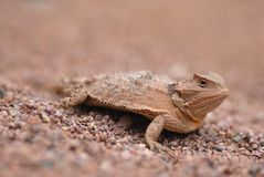 Lizards Of Arizona Stock Photography