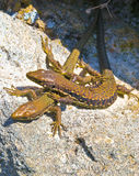 Lizards Stock Images