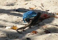 Lizards on the Beach 2. Two lizards on the beach near the city of Puerto Cabello, Venezuela royalty free stock photo