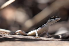 Lizards in the Caatinga of Brazil Royalty Free Stock Photography