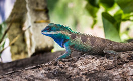 Lizards colorful in thailand. Male lizards colorful in thailand Royalty Free Stock Image