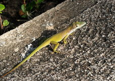 Lizards Of Cuba Royalty Free Stock Photo