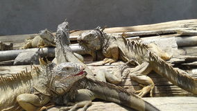 Lizards. Enjoying the sun stock photo