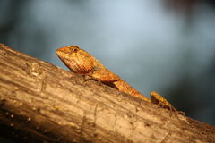 Lizards in the eye Stock Image