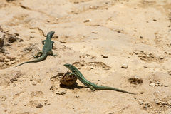 Lizards on Formentera royalty free stock photo