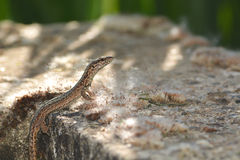 Lizards in France Royalty Free Stock Photo