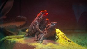 Lizards heat bathing. The moment when lizards do a heating over the lamp stock photography
