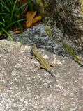 A lizards Lacerta agilis with new tail instead of shed one. A lizards with new tail instead of shed one on the stone Stock Images