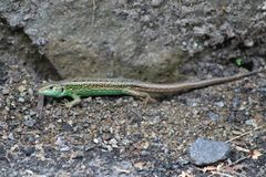 Lizards lat. Lacertilia, formerly Sauria - a suborder of reptiles from the order of scaly stock photos