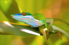 Lizards on leaf. Close up of two colorful lizards on leaf stock photo