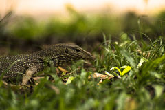 Lizards life in the woods Royalty Free Stock Image