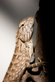 Lizards. Live in the tree Royalty Free Stock Photos