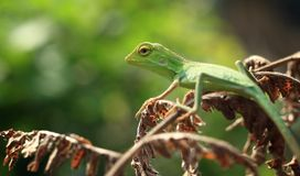 The Lizards. Lizards are a widespread group of squamate reptiles, with over 6,000 species,[1] ranging across all continents except Antarctica, as well as most royalty free stock photos
