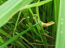 The lizards. Lurk on the lush foliage royalty free stock image