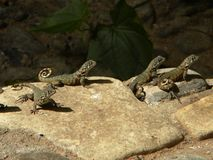 Free Lizards On Rock Stock Images - 76843174
