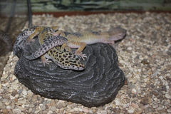 Lizards. Photo of two lizards living in the cage Stock Photo